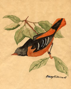1962 Original art of a Baltimore Oriole by Wildlife Artist Danny O'Driscoll