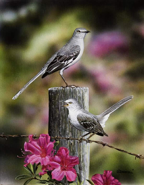 Mockingbirds in Spring an acrylic painting by wildlife artist Danny O'Driscoll