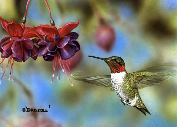 Hummer and Fuchia an acrylic painting by wildlife artist Danny O'Driscoll