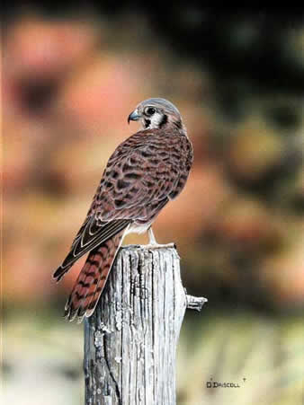 Kestrel Female an acrylic painting by Wildlife Artist Danny O'Driscoll