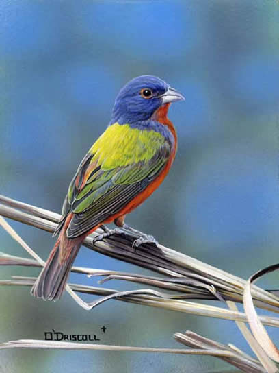 Painted Bunting an acrylic painting by wildlife artist Danny O'Driscoll