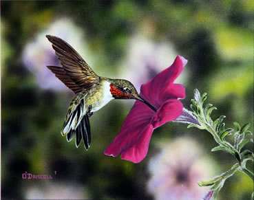 Hummer and Petunia 12 an acrylic painting by wildlife art Danny O'Driscoll