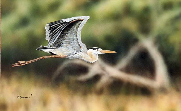 Gret Blue Heron In Flight an original acrylic painting by wildlife artist Danny O'Driscoll