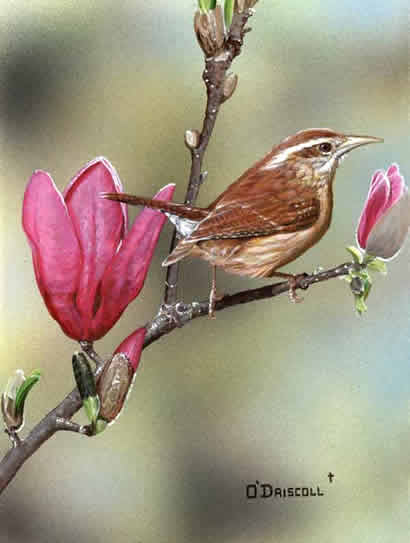 Wren of Spring an acrylic painting by wildlife artist Danny O'Driscoll