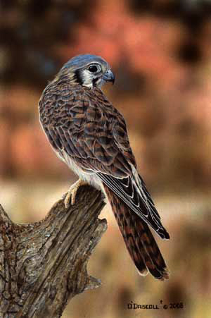 Autumn Colors Kestrel an acrylic painting by wildlife artist Danny O'Driscoll