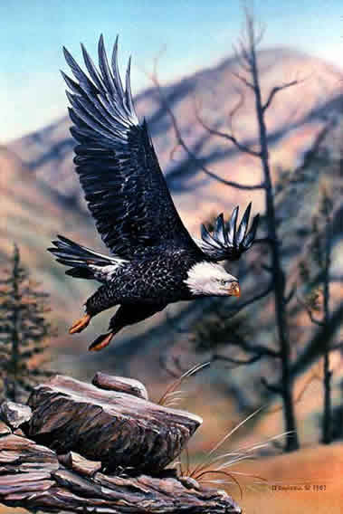 Bald Eagle Flying an acrylic painting by wildlife artist Danny O'Driscoll