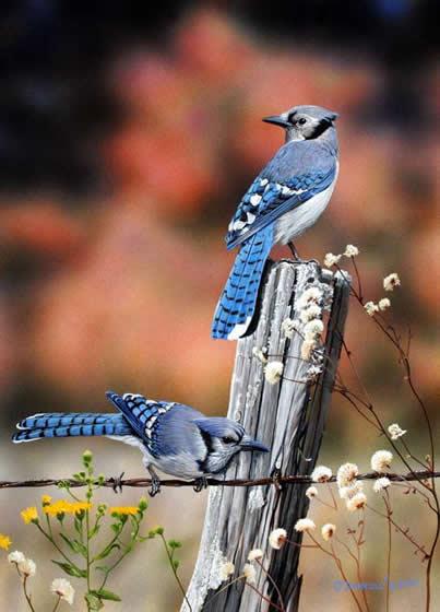 Blue Jays of Autumn an acrylic painting by wildlife artist Danny O'Driscoll