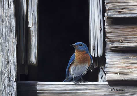 Blue and Gray -Bluebird an acrylic painting by Wildlife Artist Danny O'Driscoll