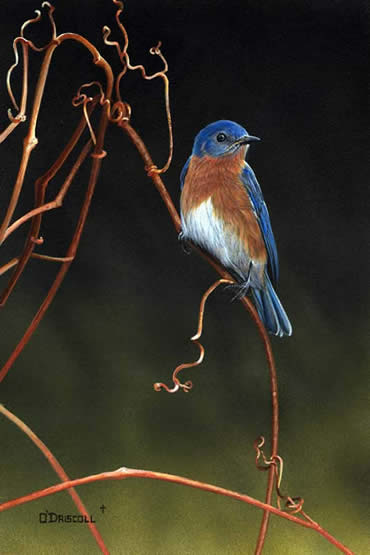 Bluebird on Vines an acrylic painting by Wildlife Artist Danny O'Driscoll
