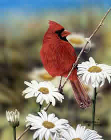 Cardinal and Daisies an acrylic painting by Wildlife Artist Danny O'Driscoll