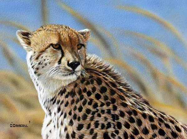 Cheetah an original acrylic painting by wildlife artist Danny O'Driscoll