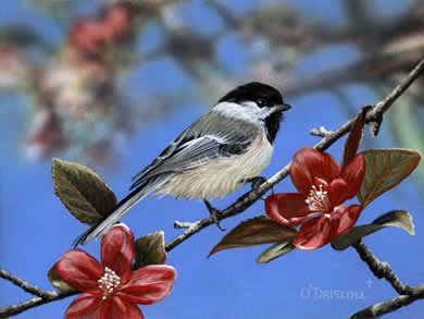 Chickadee and Apple Blossoms an acrylic painting by wildlife artist Danny O'Driscoll