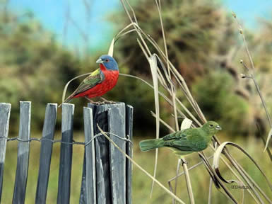 Color My World Painted Buntings an acrylic Painting by wildlife artist Danny O'Driscoll