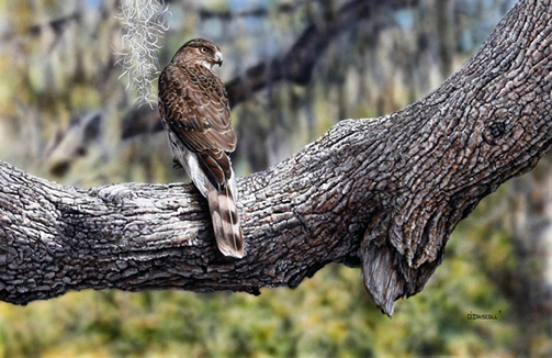 Cooper's Hawk an acrylic painting by wildlife artist Danny O'Driscoll