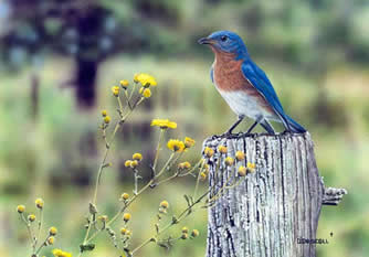 Country Field Bluebird an original acrylic painting by wildlife artist Danny O'Driscoll