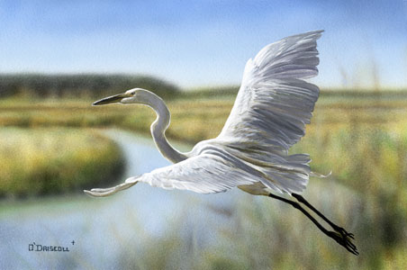 Evening Flight Great White Egret an original acrylic painting by wildlife artist Danny O'Driscoll