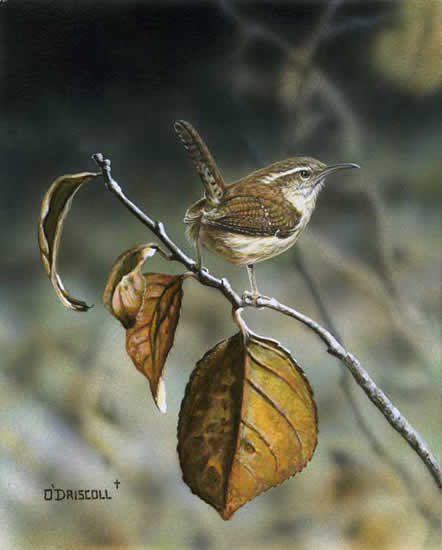 An acrylic painting by wildlife artist Danny O'Driscoll of a Carolina Wren in Fall