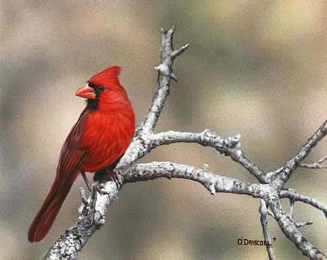 Fall Cardinal an acrylic painting by wildlife artist Danny O'Driscoll