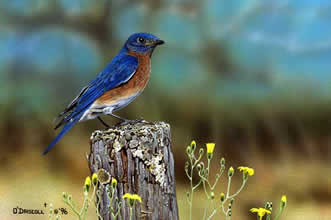 Field of Beauty an acrylic painting of a bluebird by wildlife artist Danny O'Driscoll
