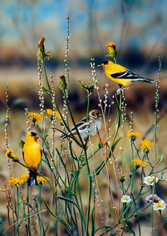 Field of Gold an acrylic painting of Goldfinches by wildlife artist Danny O'Driscoll