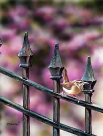 Garden Gate Wren an acrylic painting by wildlife artist DannyO'Driscoll