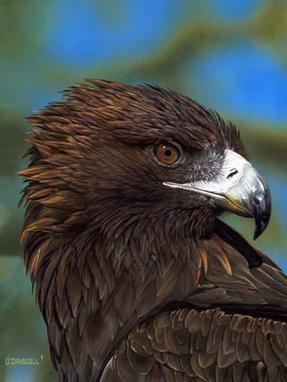 Eagle Eye -Golden Eagle an acrylic painting by wildlife artist Danny O'Driscoll
