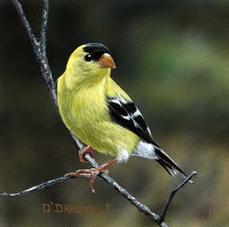 Golden a Goldfinch male an original acrylic painting by wildlife artist Danny O'Driscoll