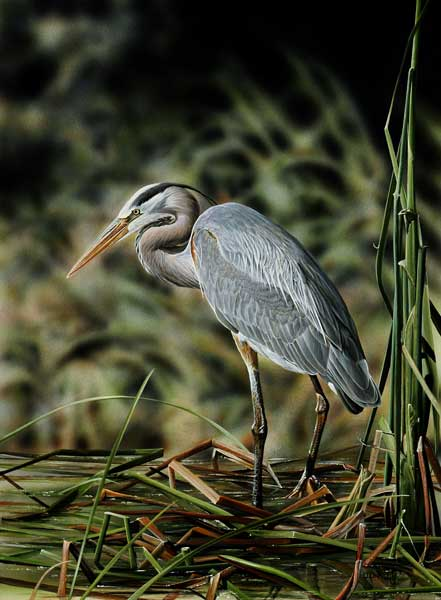 Patience and Perserverance Great blue Heron an acrylic painting by wildlife artist Danny O'Driscoll