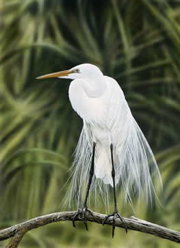 All Dressed Up -Great Egret an acrylic painting by wildlife Artist Danny O'Driscoll