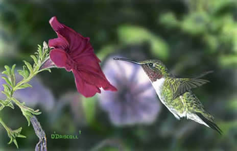 Hummer and Petunia an acrylic painting by wildlife artist Danny O'Driscoll