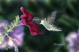 Hummer and Petunia 2 an acrylic painting by Wildlife Artist Danny O'Driscoll