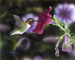Hummer and Petunia 3 an acrylic painting by Wildlife Artist Danny O'Driscoll