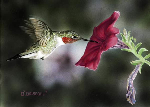 Hummer and Petunia 9 an original acrylic painting by wildlife artist Danny O'Driscoll