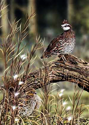 Meadow Quail an acrylic painting by wildlife artist Danny O'Driscoll
