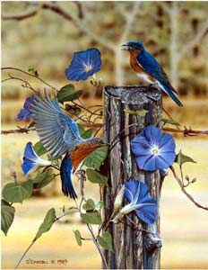 Morning Glories an acrylic painting of bluebirds by wildlife artist Danny O'Driscoll