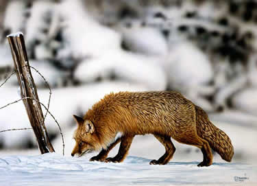 On the Trail Red Fox an acrylic painting by wildlife artist Danny O'Driscoll