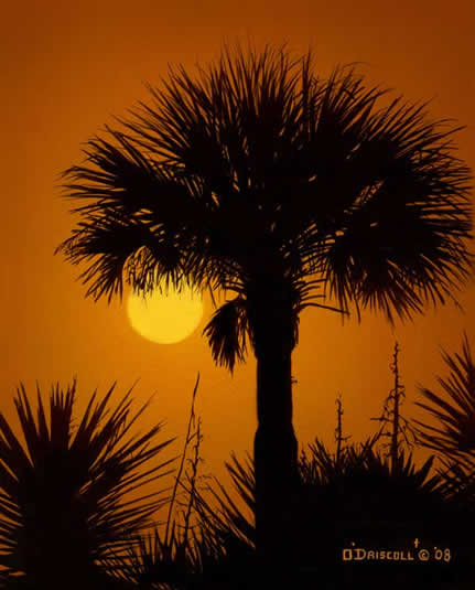 Palmetto Sunrise an acrylic painting by wildlife artist Danny O'Driscoll