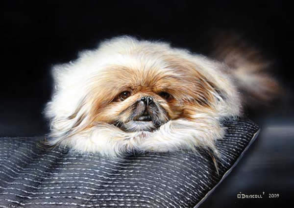 Pekingese an acrylic painting by wildlife artist Danny O'Driscoll