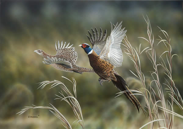 Pheasants 2012 an acrylic painting by Wildlife Artist Danny O'Driscoll