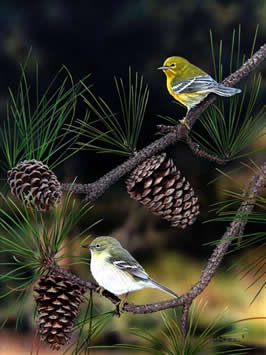 Pine Warblers an acrylic painting by wildlife artist Danny O'Driscoll
