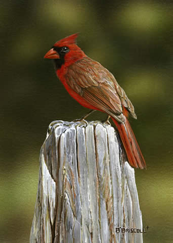 Posted No Loitering an acrylic painting of a Cardinal by wildlife artist Danny O'Driscoll