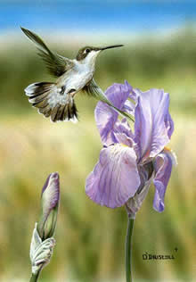 Purple Iris and Hummer an original acrylic painting by wildlife artist Danny O'Driscoll