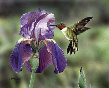 Purple Iris an original acrylic painting by wildlife artist Danny O'Driscoll