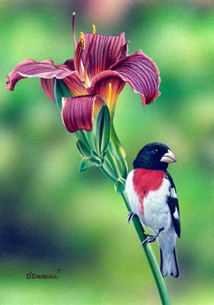 Rose Breasted Grosbeak an Acrylic painting by Wildlife Artist Danny O'Driscoll