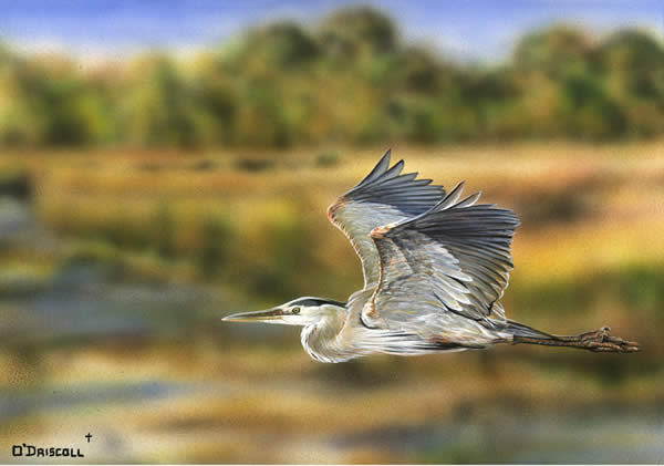An acrylic painting of a Great Blue Heron by wildlife artist Danny O'Driscoll