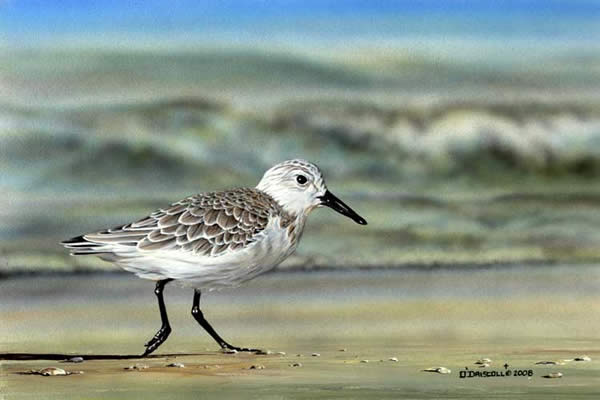 Sanderling-Shore Runner an acrylic painting by Wildlife Artist Danny O'Driscoll