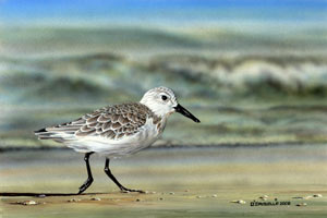 Sanderling Shore Runner an acrylic painting by wildlife artist Danny O'Driscoll