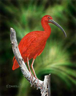 Scarlet Ibis an acrylic painting by wildlife artist Danny O'Driscoll