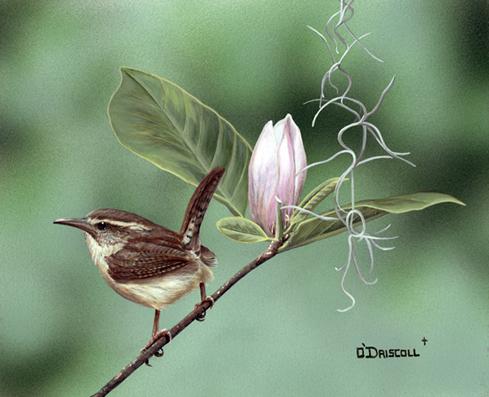 Spring Wren an original acrylic by wildlife artist Danny O'Driscoll