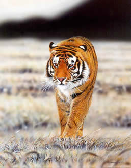 Tiger an acrylic painting by wildlife artist Danny O'Driscoll